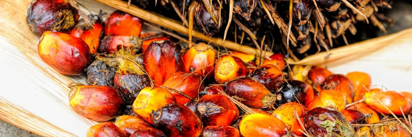 What is Red Palm Oil and Why is it Good for Parrots?