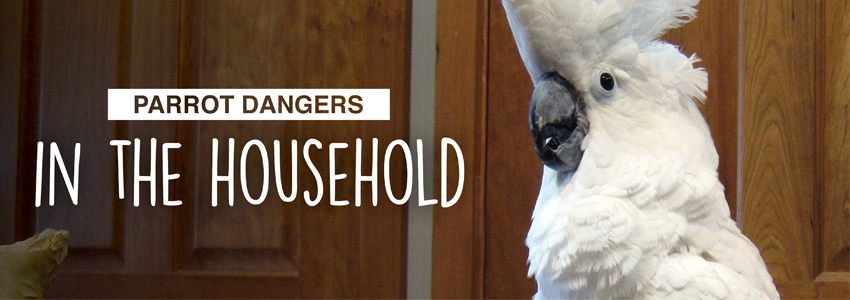 Household Dangers that Kill Parrots!